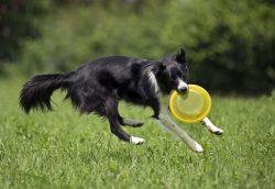 border collie catching frisbee midair