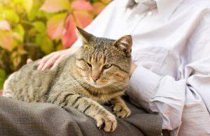 tabby cat sitting in owner's lap.
