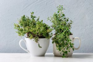 thyme herbs planed in two coffee mugs.
