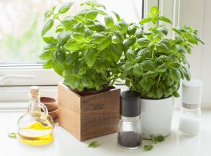 fresh basil herb in pot with olive oil near kitchen window.